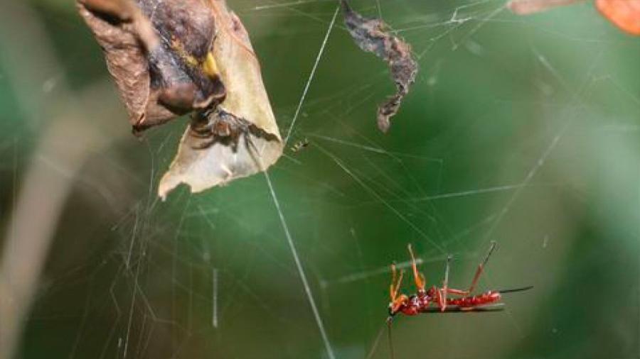 Las avispas parasitoides pueden convertir a las arañas en zombis al piratear su código interno