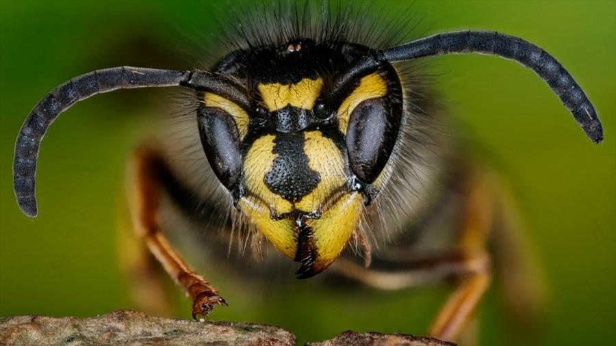 Las avispas son más inteligentes que las abejas, revela nueva investigación