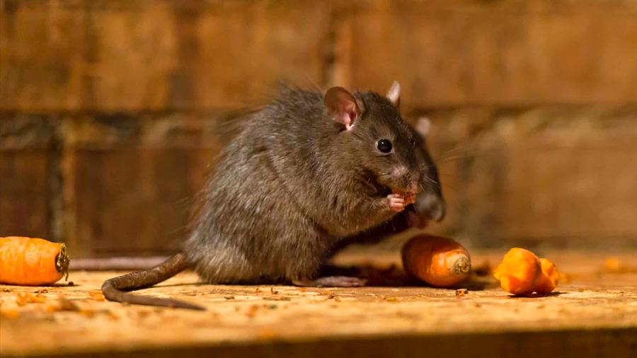 Los ratones que viven en ambientes saludables se dan menos atracones de azúcar y alcohol