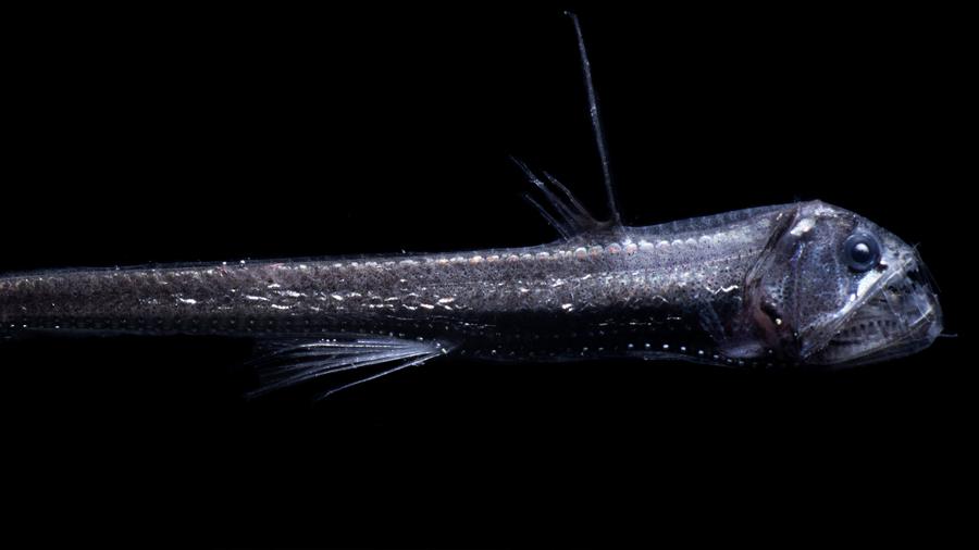 Identifican un mecanismo en peces con el que ven en las profundidades