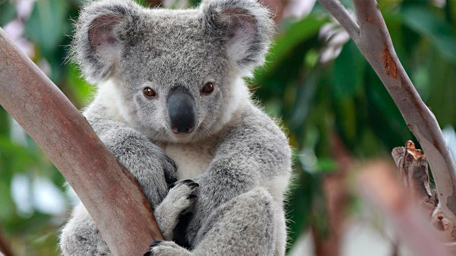 "El koala está ""funcionalmente"" extinto, afirma ONG australiana"