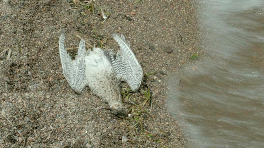 """El """"suicidio"""" de los cucuvíes: cientos de aves aparecen muertas cada año y aún se ignora el por qué"""