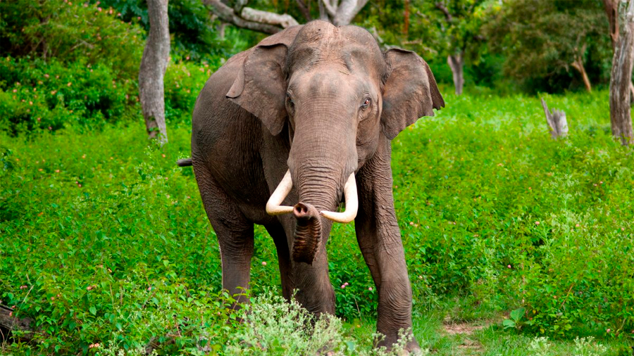 Proponen un espacio demográfico seguro para salvar el elefante asiático