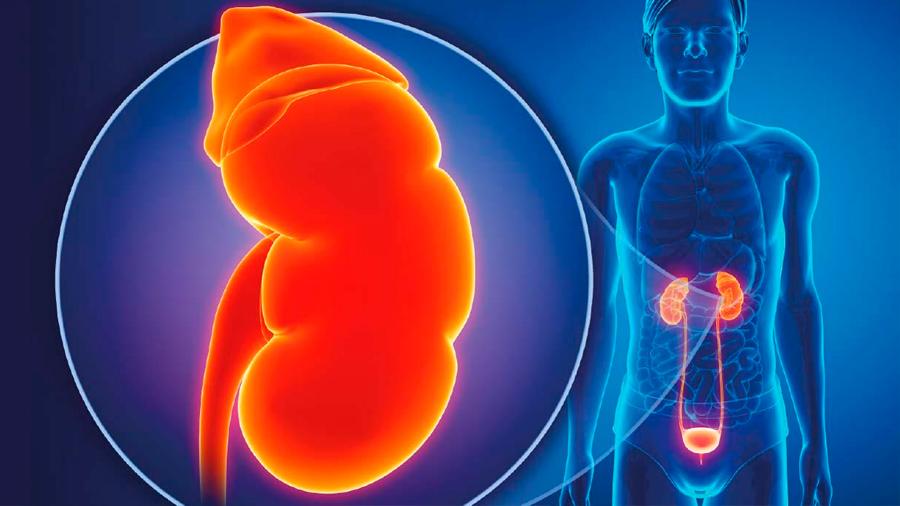 Investigadores descubren método que rehabilita riñones para trasplante