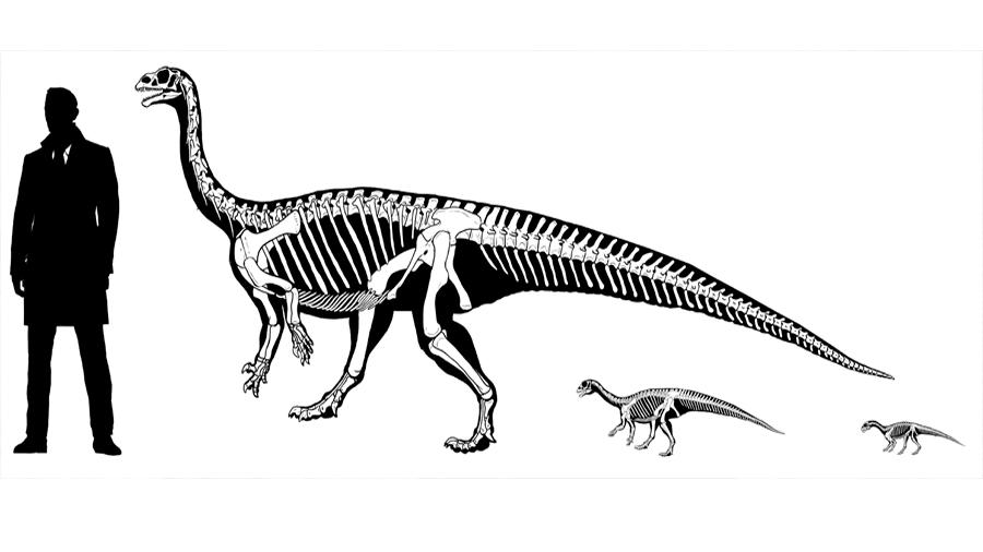 Hallazgo único. Un dinosaurio cuadrúpedo que se hacía bípedo de adulto