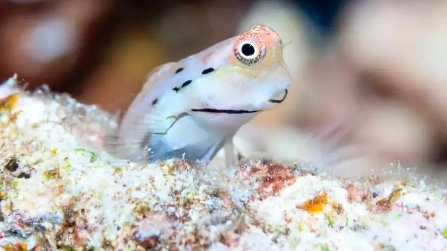 La supervivencia de los arrecifes de coral depende de los peces más diminutos del mundo