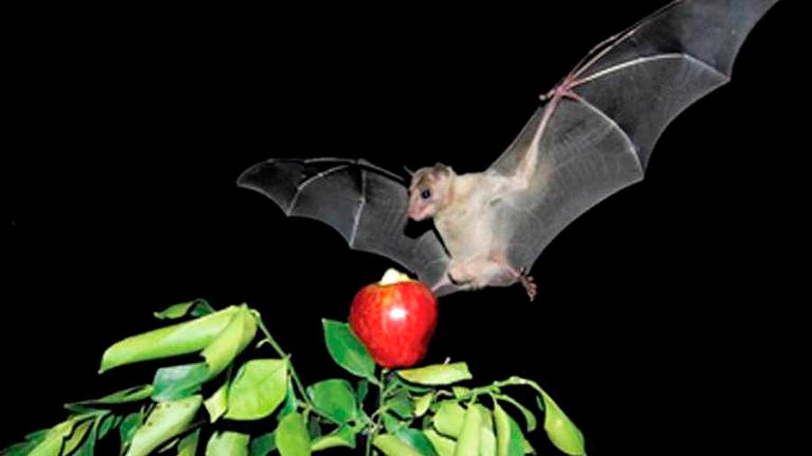 Un estudio revela que el murciélago hembra ofrece comida a cambio de sexo