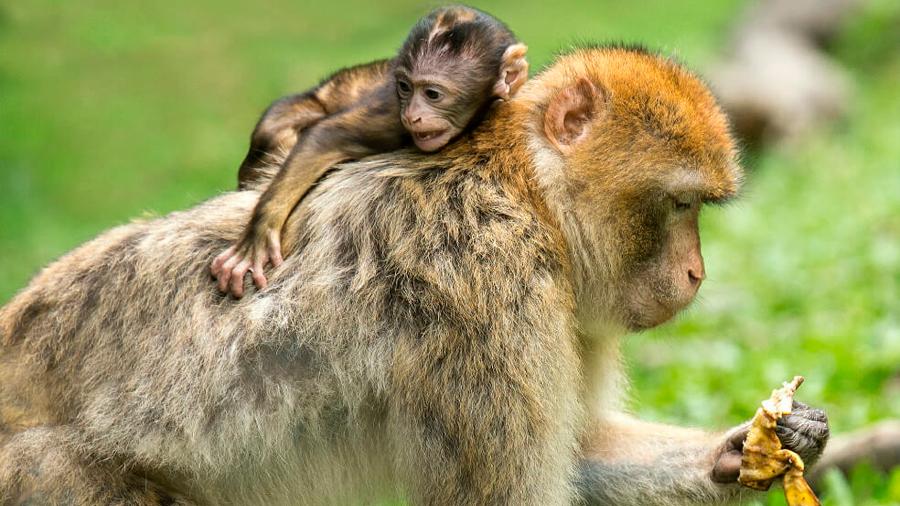 En un ensayo, monos se mostraron capaces de tomar decisiones complejas para resolver problemas