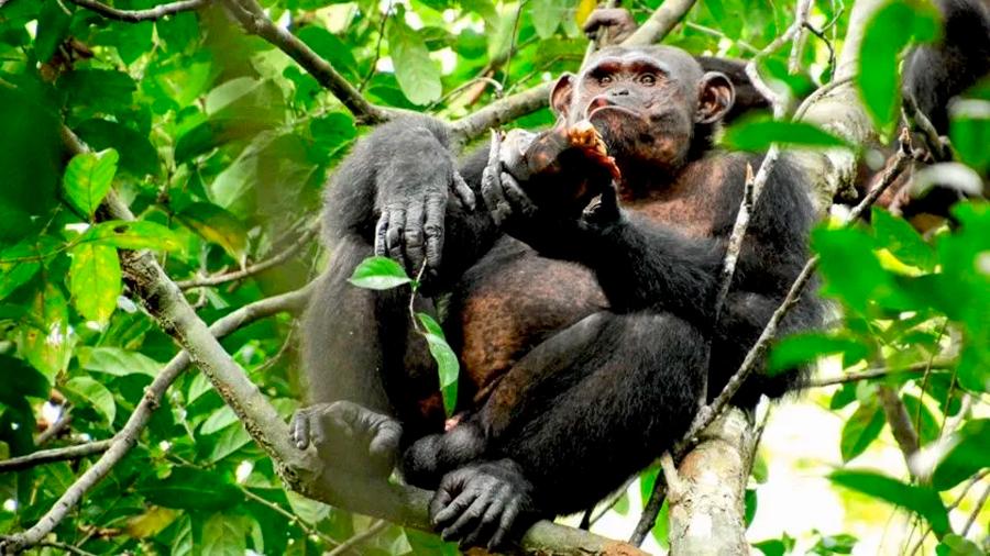 Logran observar cómo chimpancés se alimentan también de tortugas