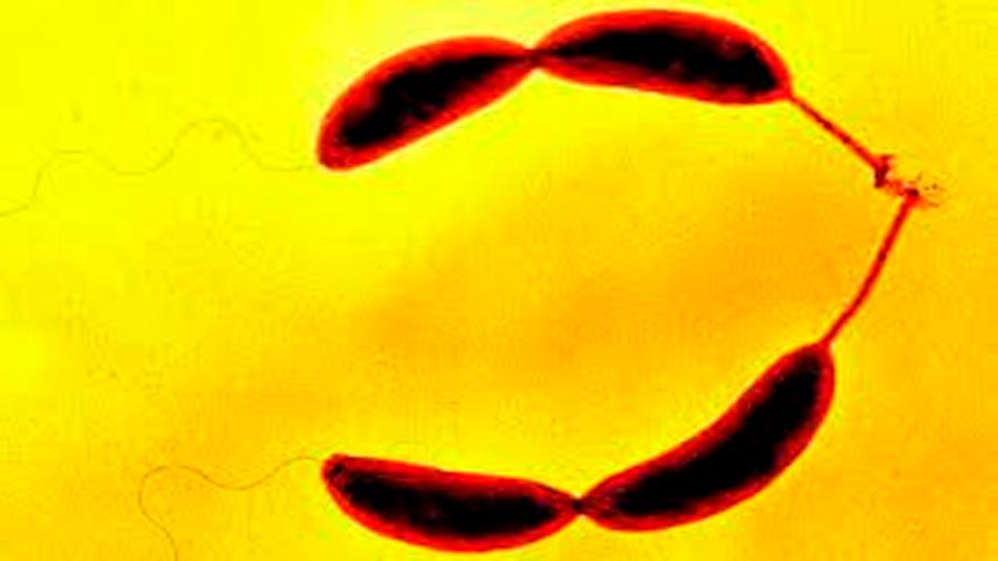 Así es la primera bacteria de 'E. coli' con un genoma 100 % artificial