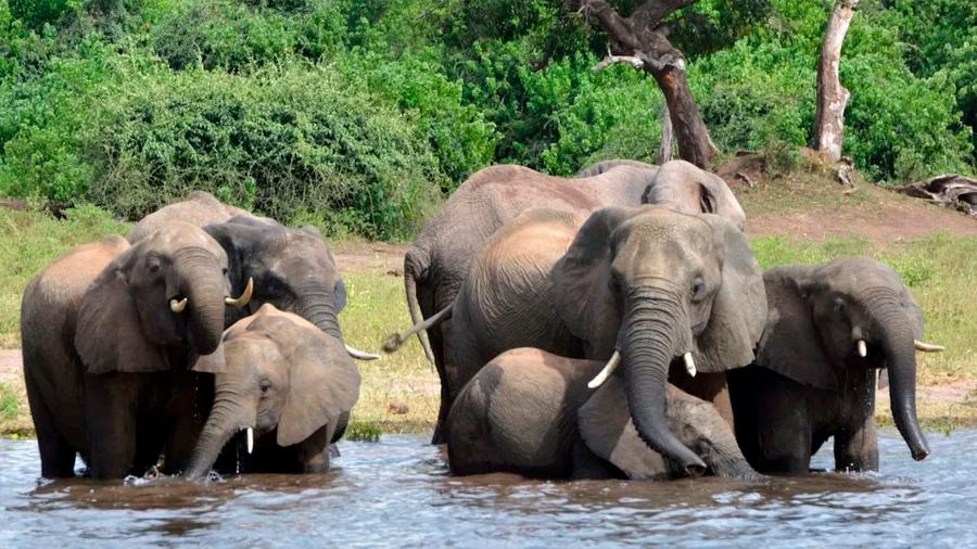 Botsuana vuelve a permitir la caza de elefantes cinco años después de su prohibición