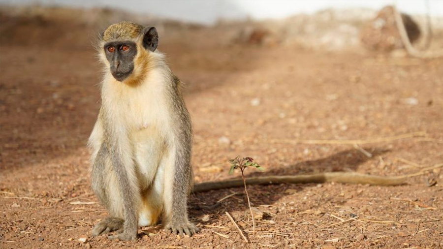 Los monos verdes lanzan señales de alarma frente a los drones