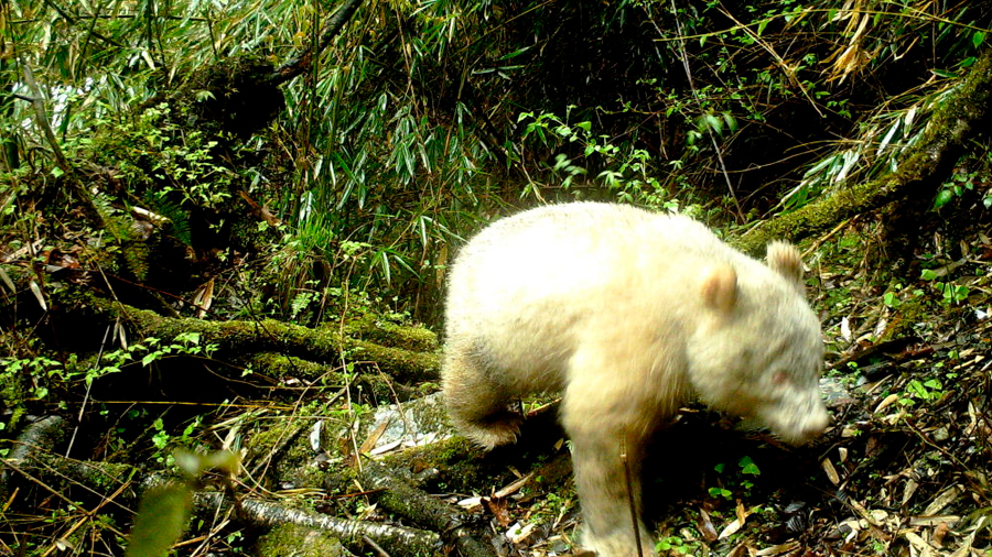 Fotografían en China al primer oso panda albino del mundo
