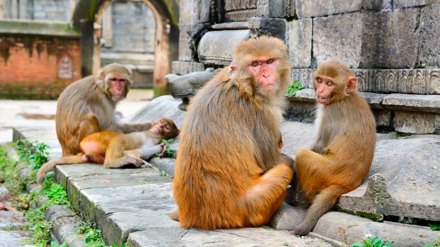 La India trata de solucionar el problema de los monos que asesinan personas
