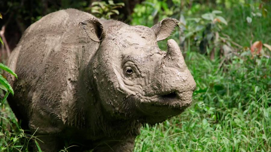 Muere el último ejemplar macho de rinoceronte de Sumatra