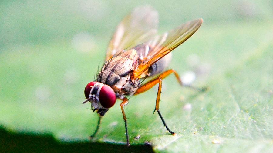 Avatares de moscas ayudan contra el cáncer al permitir la mejor combinación de medicamentos