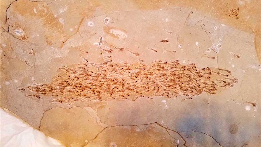Los peces ya se movían en formación hace 50 millones de años, revelas restos fosilizados