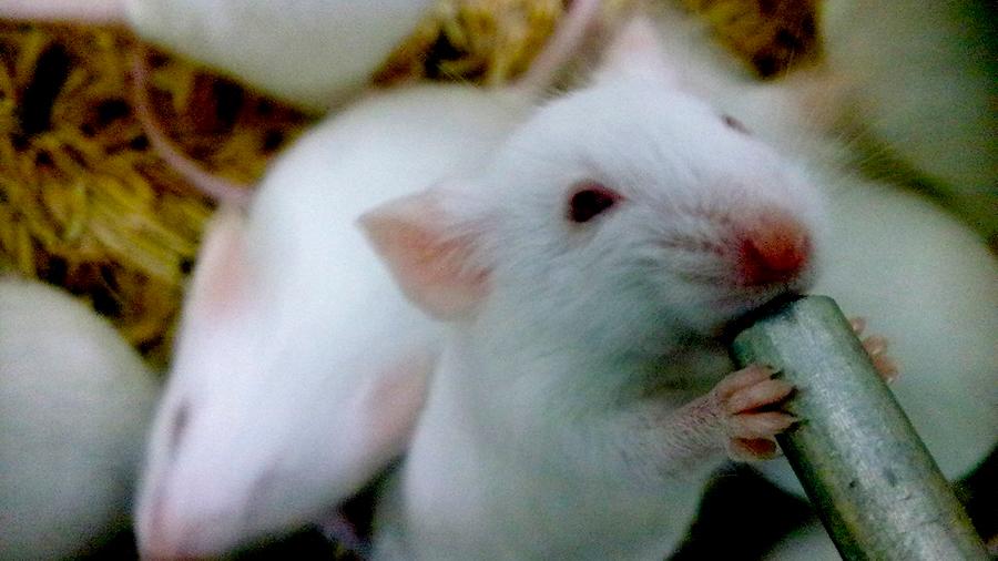 Una base de datos podría 'salvar' la vida de miles de ratones de laboratorio