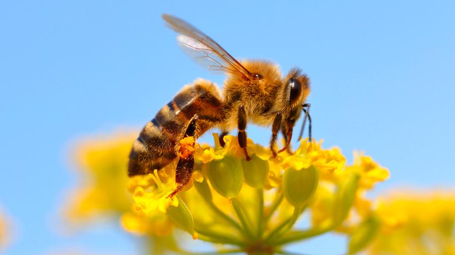 Un cóctel no letal agroquímico acorta a la mitad la vida de las abejas