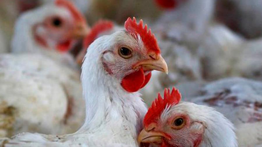 Modifican genoma de pollos para erradicar gripe humana