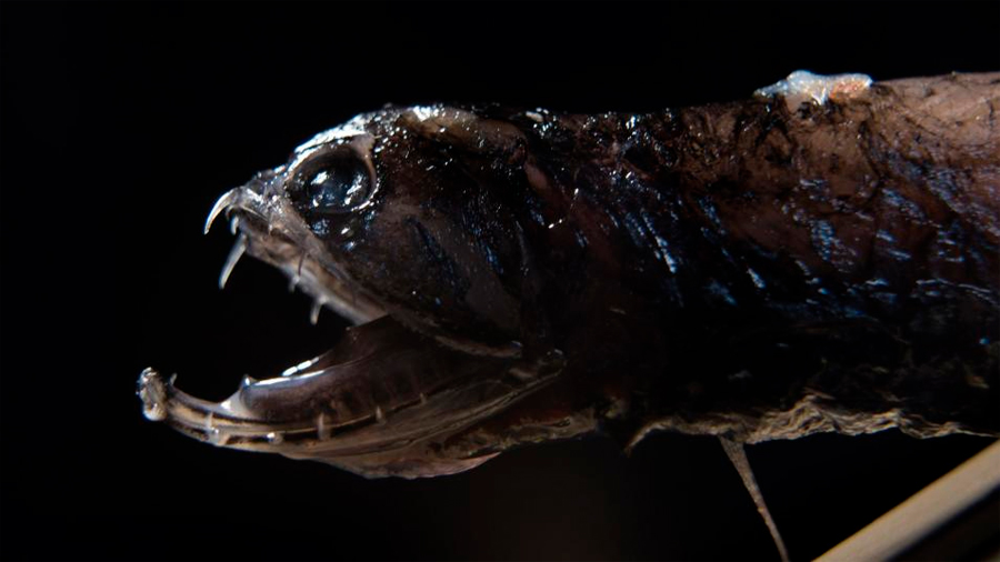 El pez dragón, la criatura de las profundidades cuyos dientes son más fuertes que los de las pirañas