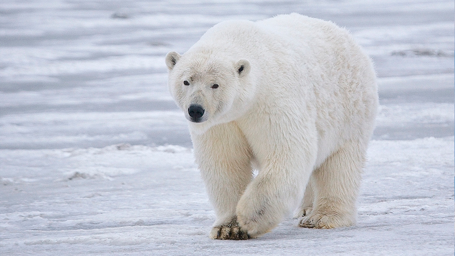 El pelo único del oso polar inspira un revolucionario aislante