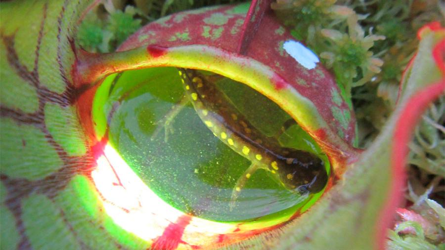 Descubren una planta que atrapa y devora crías de salamandras