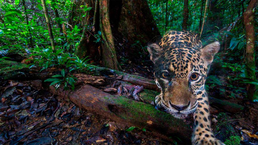 Capturan las primeras imágenes de alta resolución de jaguares en su hábitat natural cerca del Amazonas