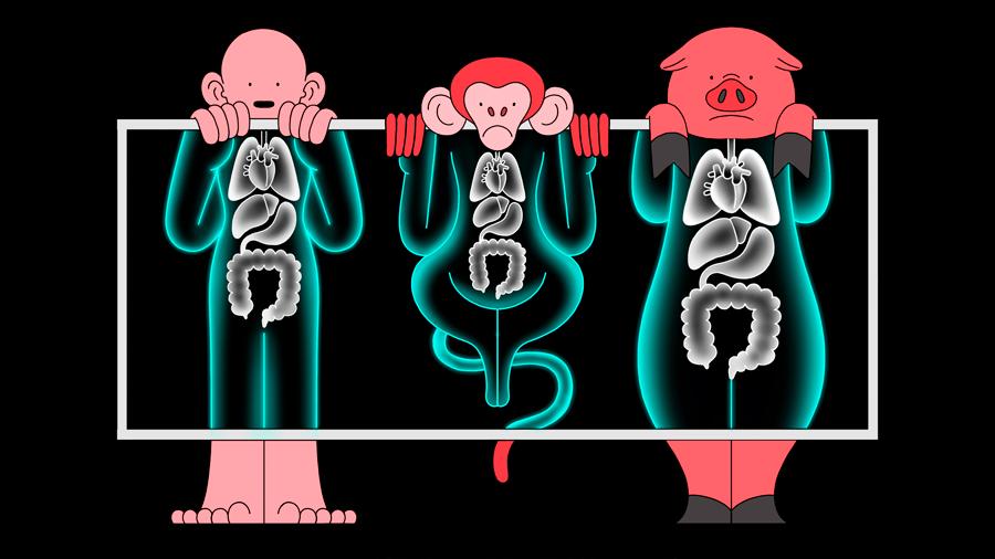 Los órganos de cerdos CRISPR ya se están trasplantando en monos