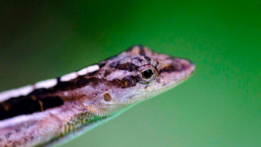 La forma de reproducción en vertebrados con capacidades vivíparas y ovíparas podría estar creando nuevas especies