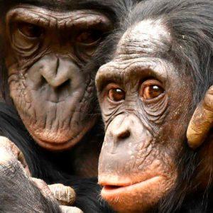 El 60% de las especies de primates en riesgo de extinción por pérdida de hábitats