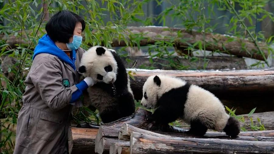Pandas gemelos Meimei y Hehe, promesa para la supervivencia de su especie