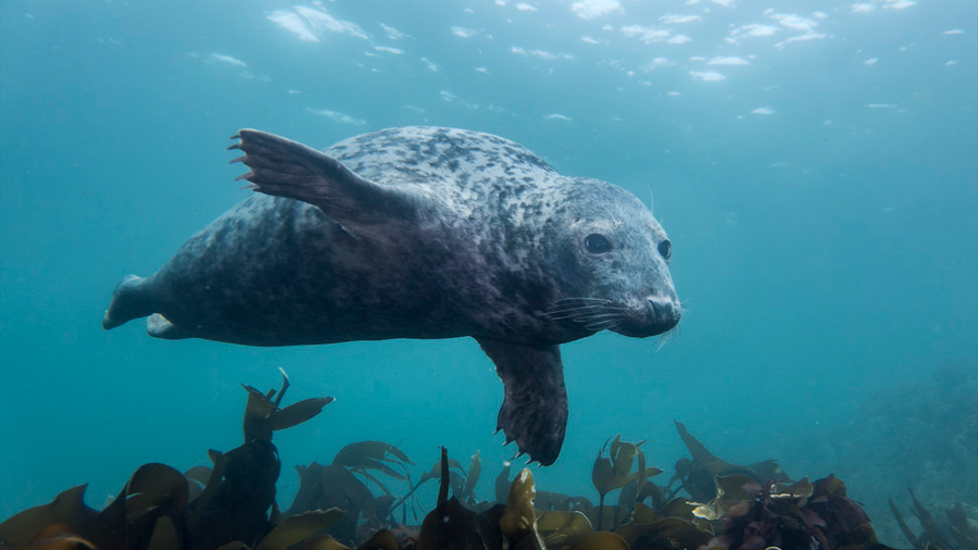 Un dispositivo portátil desvela el secreto del buceo de las focas