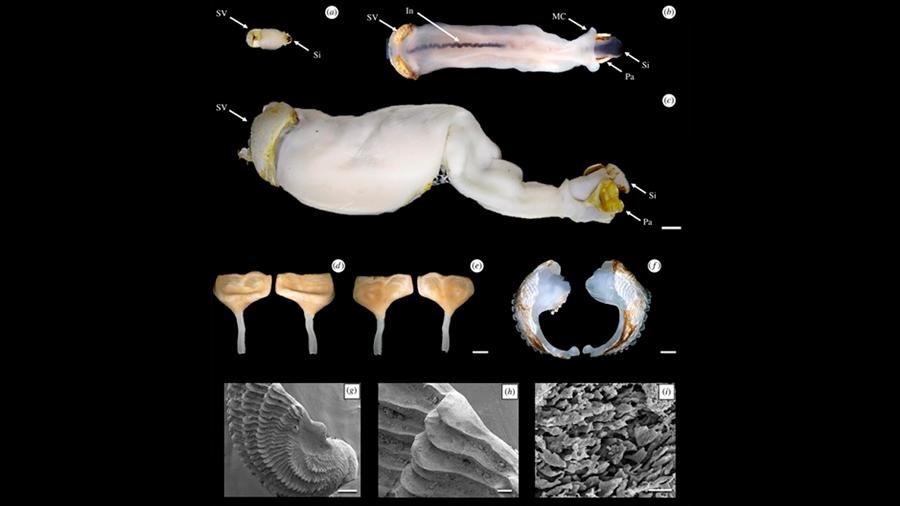 Descubren nueva especie de gusano que come piedra... y excreta arena