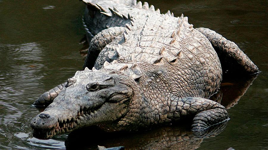 Un esteroide usado en acuicultura cambia el sexo de los cocodrilos de Costa Rica