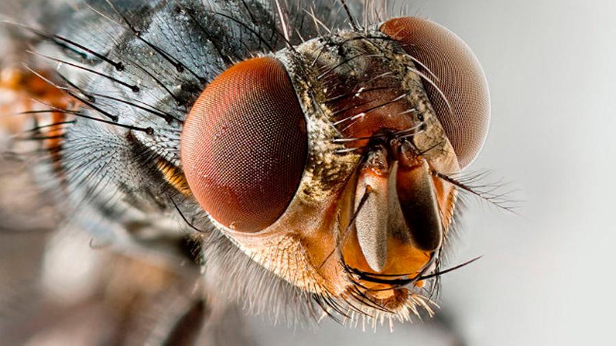 Las moscas y mosquitos resultaron ser portadores de peligrosas infecciones hospitalarias
