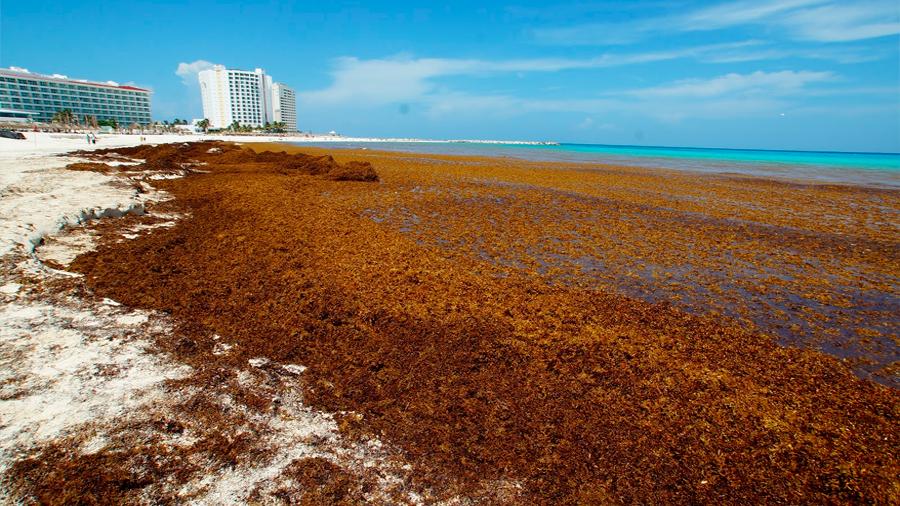 Islas flotantes de sargazo, un misterio científico: oceanógrafa mexicana
