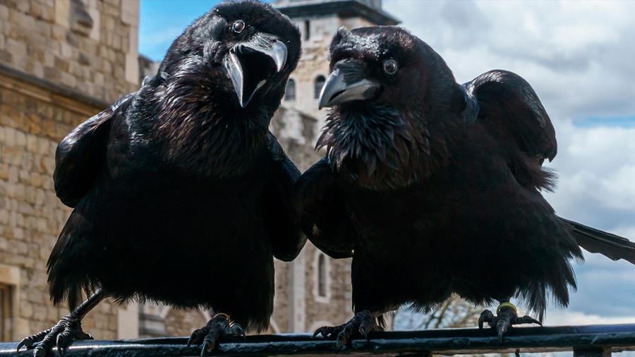 Investigadores hallan evidencia de contagio emocional negativo en cuervos de laboratorio