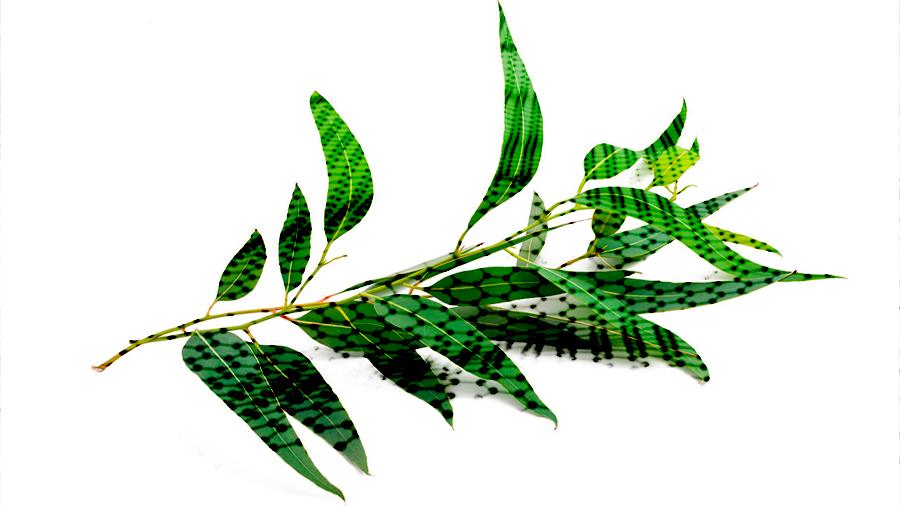 Postulan científicos que el eucalipto puede usarse para producir grafeno 100 veces más barato