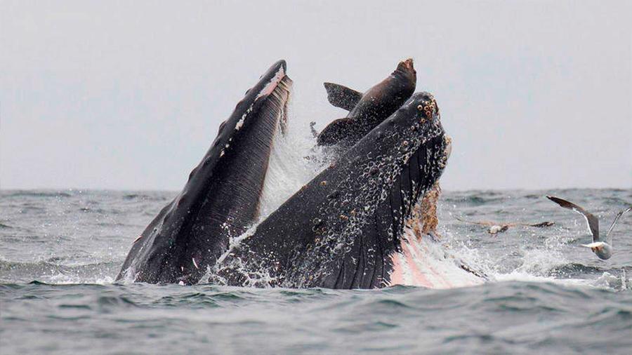 Captan la espectacular imagen de un león marino dentro de las fauces de una ballena