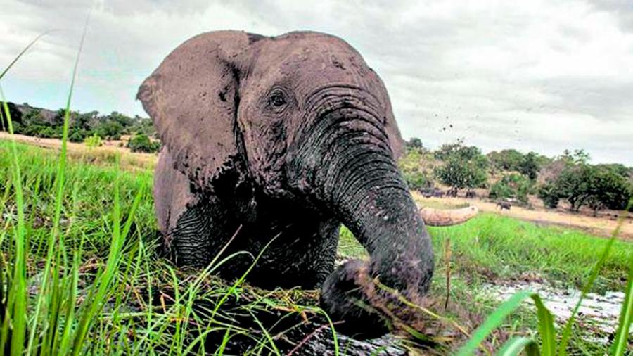 El incremento del valor del marfil dispara la amenaza para las poblaciones de elefantes