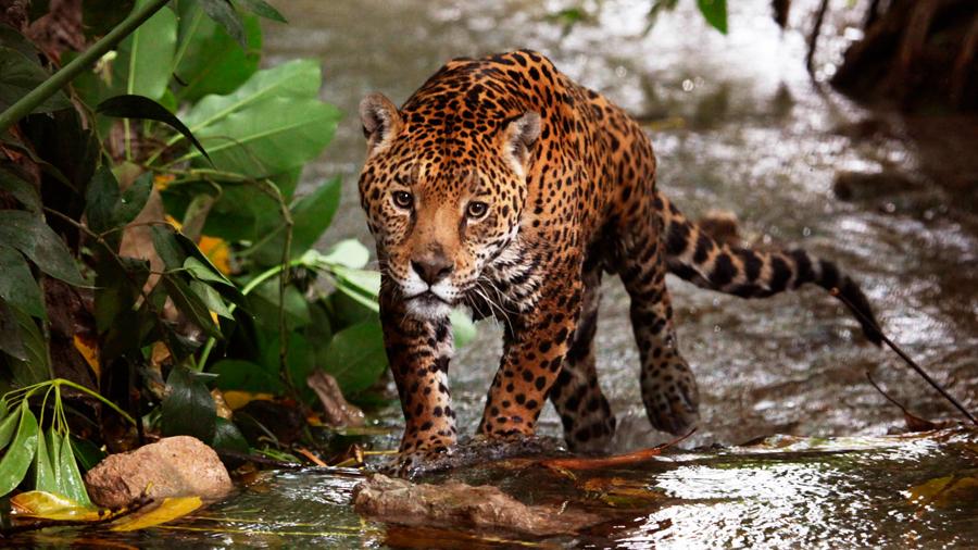 Buscan donaciones para proteger hábitat de jaguares en Nayarit una entidad de México