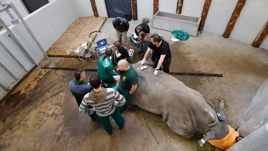 Última esperanza: fertilizan in vitro a rinoceronta para salvar especie