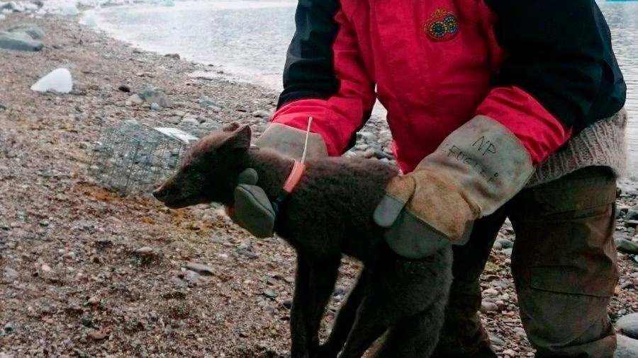 Zorra ártica sorprende a científicos: camina desde Noruega hasta Canadá en 76 días