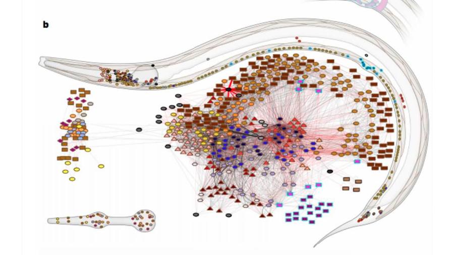 Trazan el mapa de las conexiones nerviosas del gusano más famoso