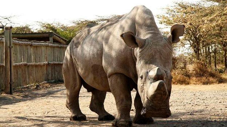 Científicos alemanes estudian cómo salvar al rinoceronte blanco del norte de la extinción, vía células madre