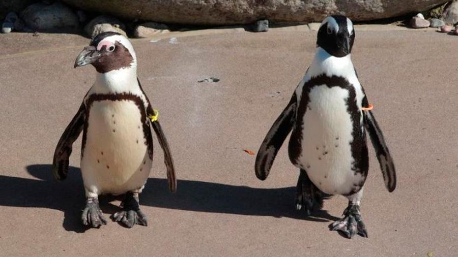 """Pareja de pingüinos gays, padres """"ejemplares"""" en zoológico de EU"""