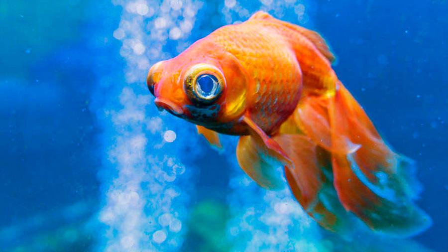 Los peces no se comunican con las personas ni tienen expresiones faciales, evidencian científicos