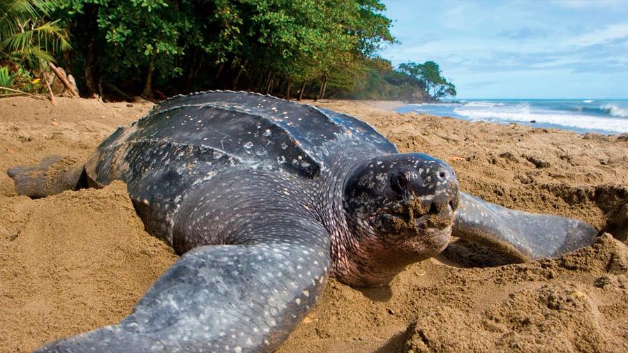 La tortuga laúd se recupera lentamente en Brasil