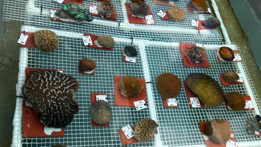 Extraen corales de los Cayos de Florida para salvarlos de una enfermedad